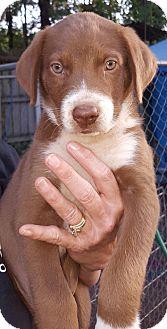 Australian Shepherd Mix Puppy for adoption in Westport, Connecticut - Kwin