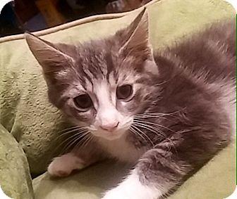 Domestic Shorthair Kitten for adoption in Riverside, California - Cashew
