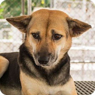 Corgi/Shiba Inu Mix Dog for adoption in Long Beach, New York - Mini Jodie
