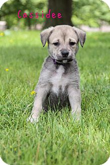 German Shepherd Dog Mix Puppy for adoption in New Oxford, Pennsylvania - Casidee