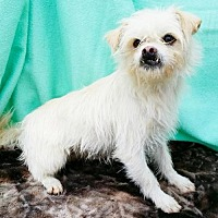 Lhasa Apso/Maltese Mix Dog for adoption in Pipe Creek, Texas - Taz
