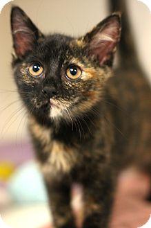 Domestic Shorthair Kitten for adoption in Staunton, Virginia - Prissy