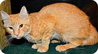Maine Coon Cat for adoption in Buford, Georgia - Meeko