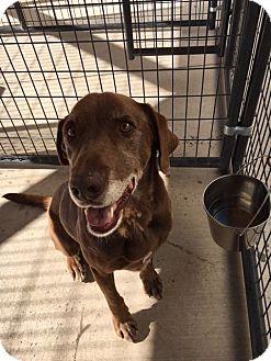 Labrador Retriever Mix Dog for adoption in Cedaredge, Colorado - Buddy