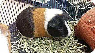 Guinea Pig for adoption in Palm Coast, Florida - Sarah