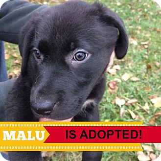 Labrador Retriever Mix Puppy for adoption in Regina, Saskatchewan - Malu