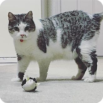 Domestic Shorthair Cat for adoption in Seneca, South Carolina - Mae $75