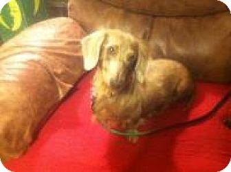 Dachshund Dog for adoption in Marlton, New Jersey - BELLA