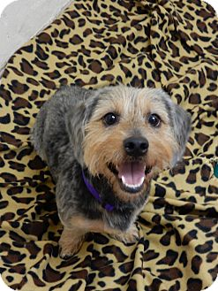 Yorkie, Yorkshire Terrier/Dachshund Mix Dog for adoption in Greenburgh, New York - Nicky