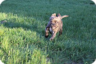 Pug/American Pit Bull Terrier Mix Puppy for adoption in Winchester, Virginia - Bugz