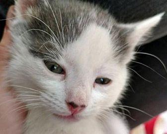 Domestic Shorthair Kitten for adoption in Santa Fe, New Mexico - Logan