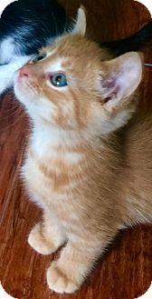 Domestic Shorthair Kitten for adoption in Greensburg, Pennsylvania - Rory