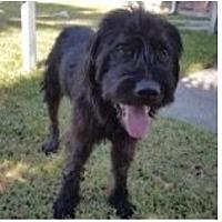 Adopt A Pet :: Oso - Spring, TX