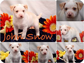 Labrador Retriever Mix Puppy for adoption in DeForest, Wisconsin - John Snow