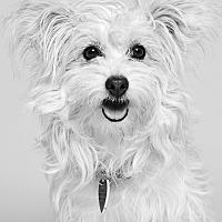 Adopt A Pet :: CeCe - Van Nuys, CA