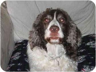 Springer Spaniel Dog for adoption in Salem, Oregon - suzy