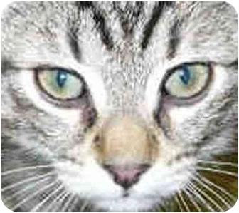 Domestic Shorthair Kitten for adoption in San Clemente, California - LORETTA