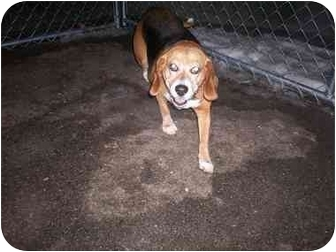 Beagle Dog for adoption in Columbiaville, Michigan - Amy