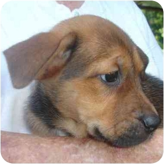 Shepherd (Unknown Type)/Beagle Mix Puppy for adoption in Old Bridge, New Jersey - Darcy