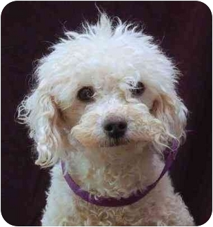 Miniature Poodle Dog for adoption in Mora, Minnesota - Bailey