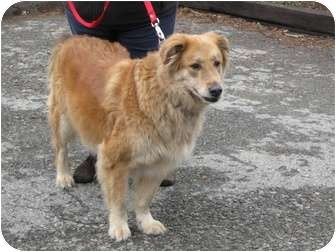 Golden Retriever/Collie Mix Dog for adoption in Randolph, New Jersey - Koda