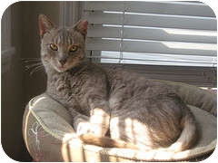 Domestic Shorthair Cat for adoption in bloomfield, New Jersey - Cliff