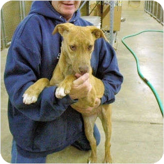 Vizsla Mix Dog for adoption in Cranford, New Jersey - Dog #4