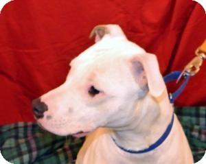 American Bulldog/Boxer Mix Dog for adoption in East Sparta, Ohio - Max