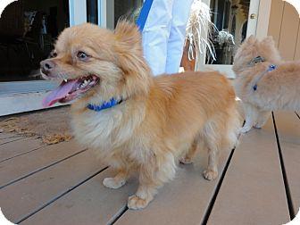 Pomeranian/Dachshund Mix Dog for adoption in Santa Rosa, California - Marley