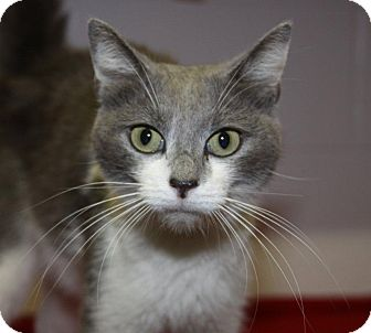 Domestic Shorthair Cat for adoption in Orland Park, Illinois - Katie