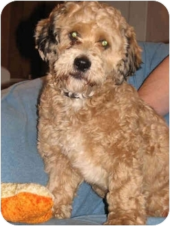 Lhasa Apso/Poodle (Miniature) Mix Dog for adoption in Overland Park, Kansas - Charlie