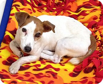 Jack Russell Terrier Dog for adoption in Dublin, California - Frosty