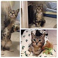 Adopt A Pet :: Little Boo - Miami, FL