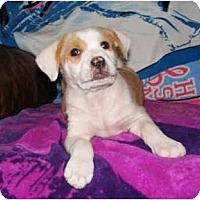 Adopt A Pet :: Brody - kennebunkport, ME