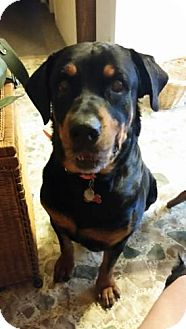 Rottweiler Dog for adoption in Clarksville, Tennessee - Rocky