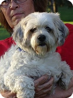 Shih Tzu/Poodle (Miniature) Mix Dog for adoption in Overland Park, Kansas - Marshmallow