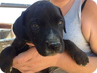 Labrador Retriever/Shepherd (Unknown Type) Mix Puppy for adoption in Studio City, California - MAIKO