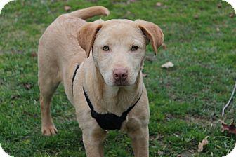 Labrador Retriever Mix Puppy for adoption in Newark, New Jersey - Lydia