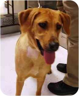 Labrador Retriever Mix Dog for adoption in Houston, Texas - Amber
