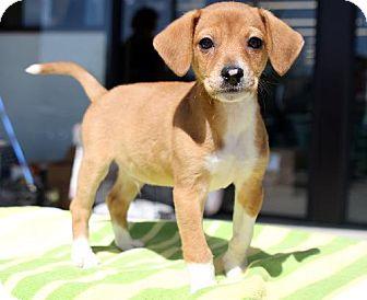 Beagle/Dachshund Mix Puppy for adoption in Cool Ridge, West Virginia - Aspen