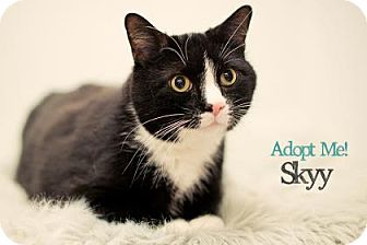 Domestic Shorthair Cat for adoption in West Des Moines, Iowa - Skyy