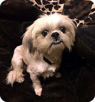Shih Tzu Mix Dog for adoption in Los Angeles, California - PUNKY