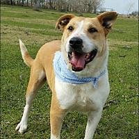 Labrador Retriever/Bull Terrier Mix Dog for adoption in Huntington, New York - Blondie - N