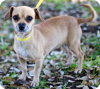 Terrier (Unknown Type, Small)/Chihuahua Mix Dog for adoption in Monroeville, Pennsylvania - SANDY