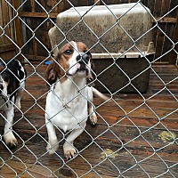 Beagle/Basset Hound Mix Dog for adoption in Staunton, Virginia - Wubsey