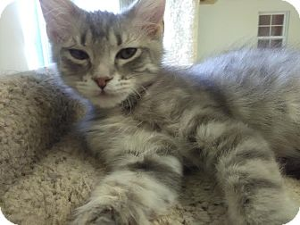 Domestic Shorthair Cat for adoption in Owenboro, Kentucky - PIPER!