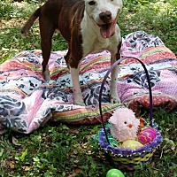 American Staffordshire Terrier Mix Dog for adoption in Ocoee, Florida - Princess