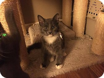 Domestic Mediumhair Kitten for adoption in Jerseyville, Illinois - Kash