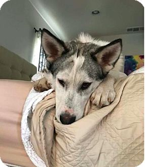 Siberian Husky/Border Collie Mix Puppy for adoption in Yucca Valley, California - SNOOPY