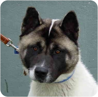 Akita Dog for adoption in Chicago, Illinois - Misty